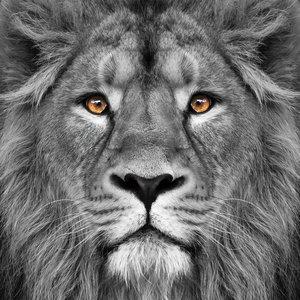 Glass painting 80x80cm Lion close up