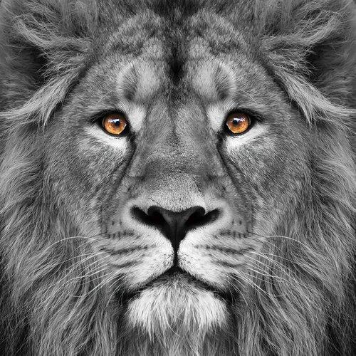 MondiArt Glass painting 80x80cm Lion close up