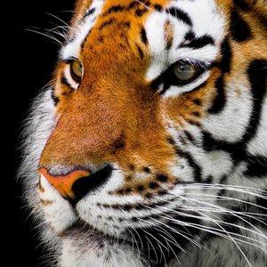 Wandkraft Wandmalerei Tiger Kopf 74x74cm
