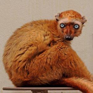 Wandkraft Wandkraft glasschilderij  Monkey 74x74cm