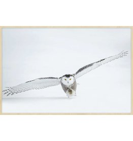 Wandkraft Painting forex Owl 148x98cm