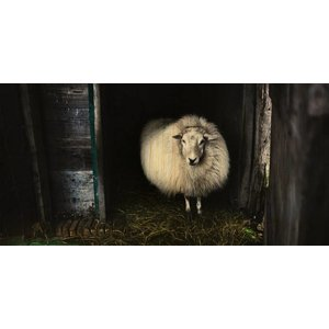 Wandkraft Painting birch wood Sheep 98x48cm