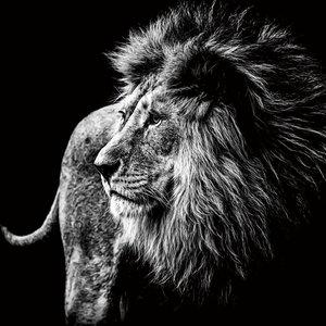 Eliassen Foto auf Glasmalerei Lion 100x100cm