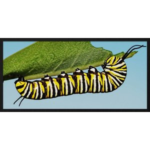 Wandkraft Painting forex Caterpillar 48x98cm