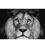 Glasschilderij Leeuwen kop 120x80cm