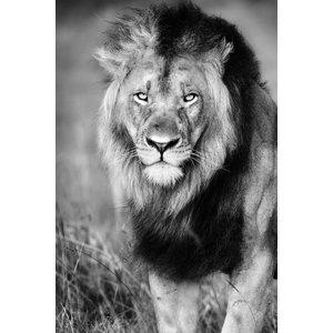 Glas schilderij Leeuw lopend 80x120cm