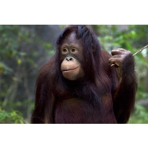 Glass painting 80x120 cm. Monkey
