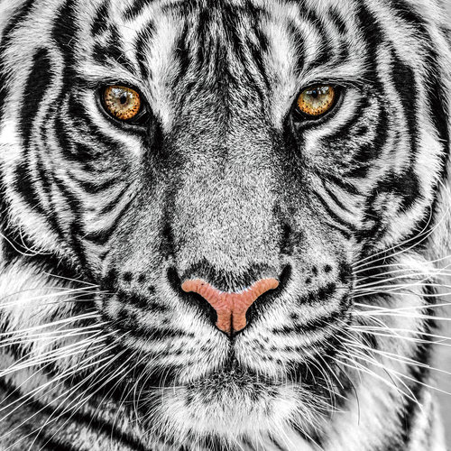 Painting glass Tiger white 80x80cm