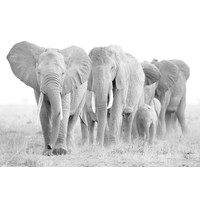 Glasschilderij Olifanten kudde grijs 110x160cm