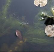 Oase Living Water Oase AquaActiv AlGo Universal 5 l
