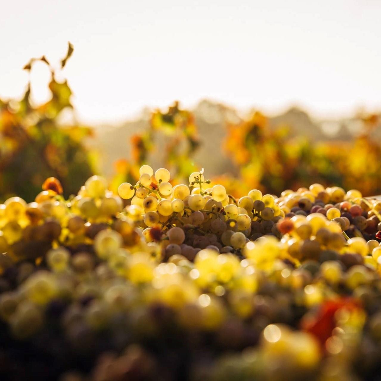 Veld met witte druiven
