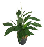 Spathiphyllum of Lepelplant