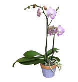 Phalaenopsis roos/ Pot Dapu lila