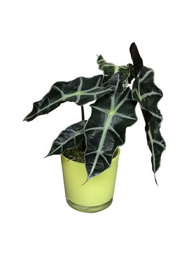 Skeletplant