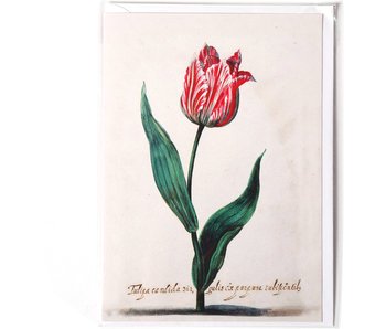 Card, Tulipa Candida, Van Swanenburch