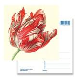 Postkarte, Tulpe (Detail), Henstenburgh  (Teylers)