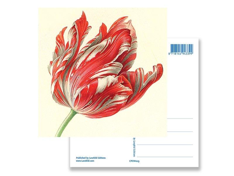 Carte postale, Tulipe (détail), Henstenburgh  (Teylers)