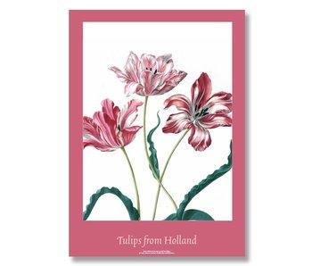 Póster, 50x70, Merian, Tres tulipanes