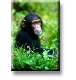 Aimant pour réfrigérateur, bébé chimpanzé