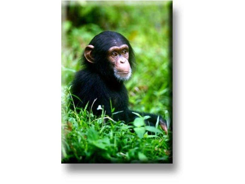 Kühlschrankmagnet, Schimpansenbaby