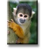 Aimant de réfrigérateur, singe écureuil