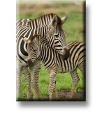 Kühlschrankmagnet, Zebra