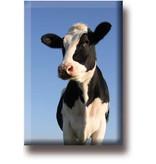 Der Kühlschrankmagnet Cow schaut in die Kamera