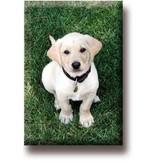 Fridge Magnet, Labrador, Puppy