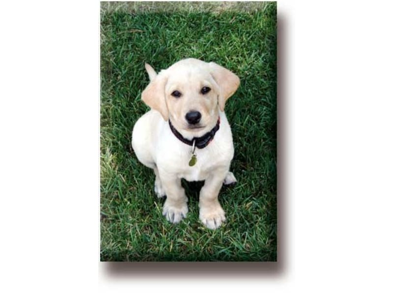 Aimant de réfrigérateur, Labrador, Puppy