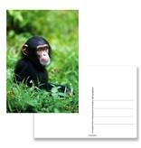 Postkarte, Schimpansenbaby