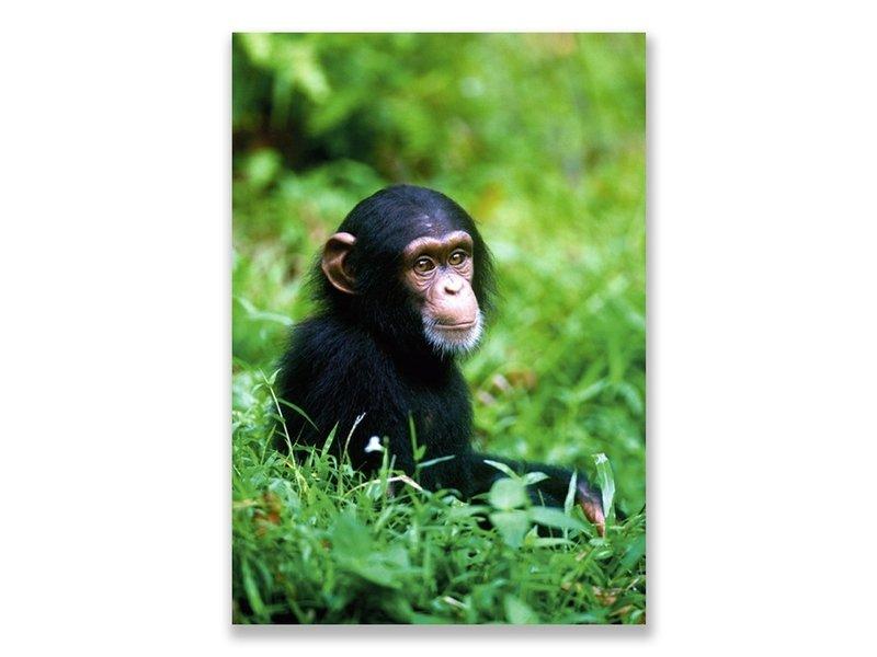 Ansichtkaart,  Baby Chimpansee