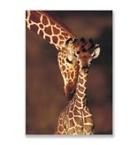 Ansichtkaart,  Giraffe, dierentuin