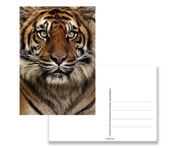 Carte postale, tête de tigre