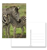 Postkarte, Zebra