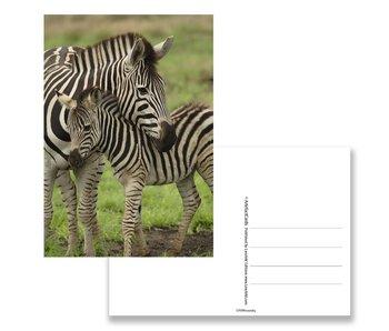 Ansichtkaart,  Zebra