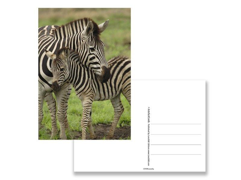 Carte postale, zèbre