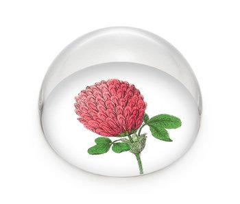 Pisapapeles de vidrio, Flor de trébol rojo, Hortus Botanicus