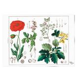 Affiche 50x70 , Coquelicot, Hortus Botanicus