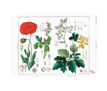 Poster  50x70, Amapola, Hortus Botanicus