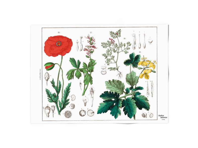 Cartel 50x70,  Amapola, Hortus Botanicus