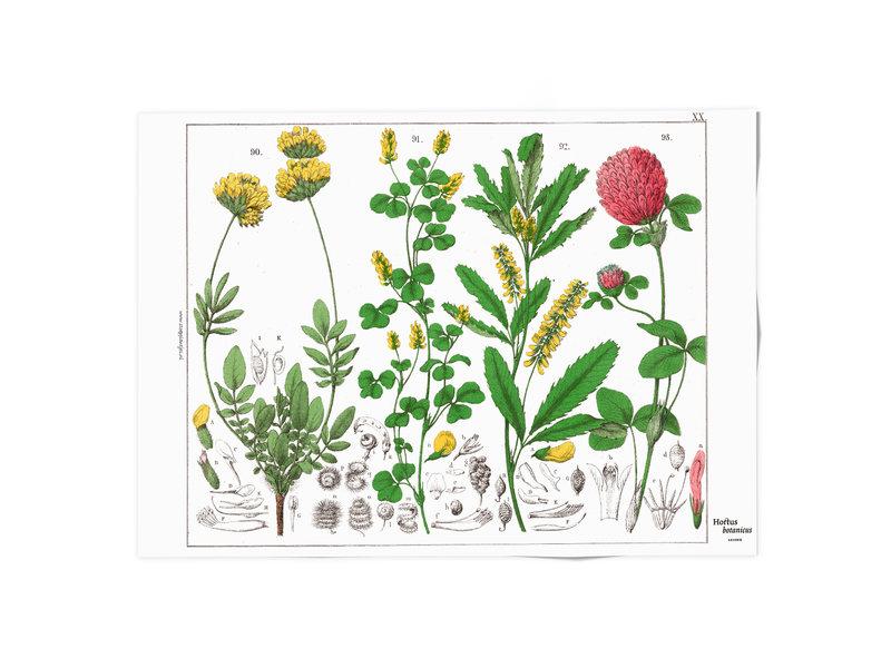 Poster, 50x70, Rode klaver, Hortus Botanicus
