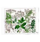 Affiche 50x70 , Feuille de sureau, Hortus Botanicus
