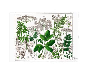 Plakat 50x70,  Holunderblatt, Hortus Botanicus