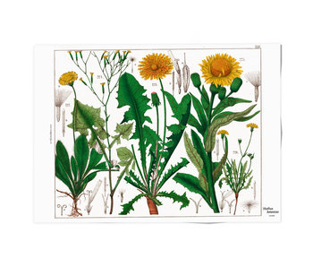 Poster, 50x70,  Paardebloem, Hortus Botanicus