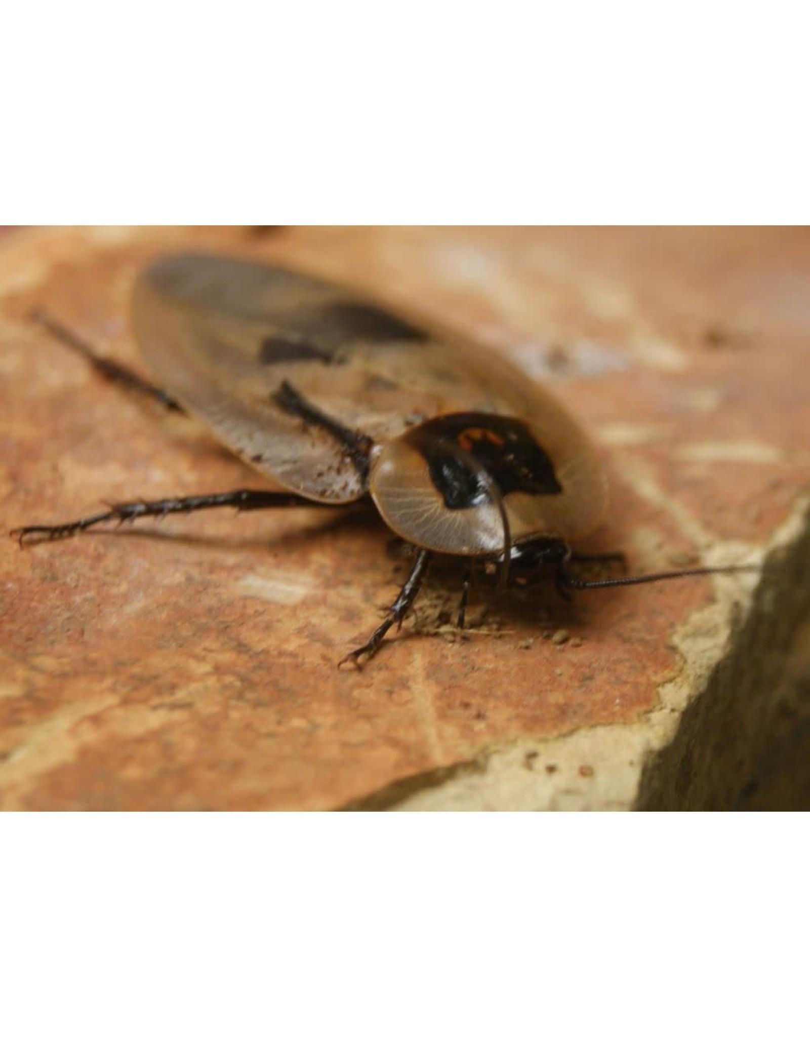 Angell Pets Deaths Head Cockroach (Blaberus craniifer)