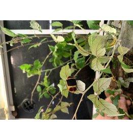Angell Pets Fruit Beetle (Sun Beetle) (Pachnoda marginata peregrina)