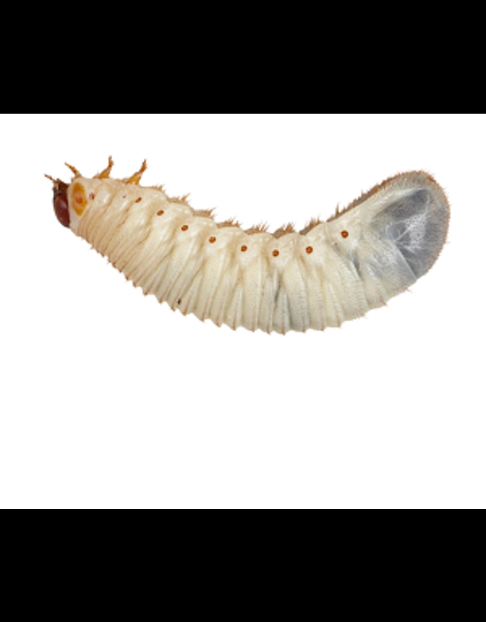 Angell Pets Fruit Beetle (Pachnoda) Grubs