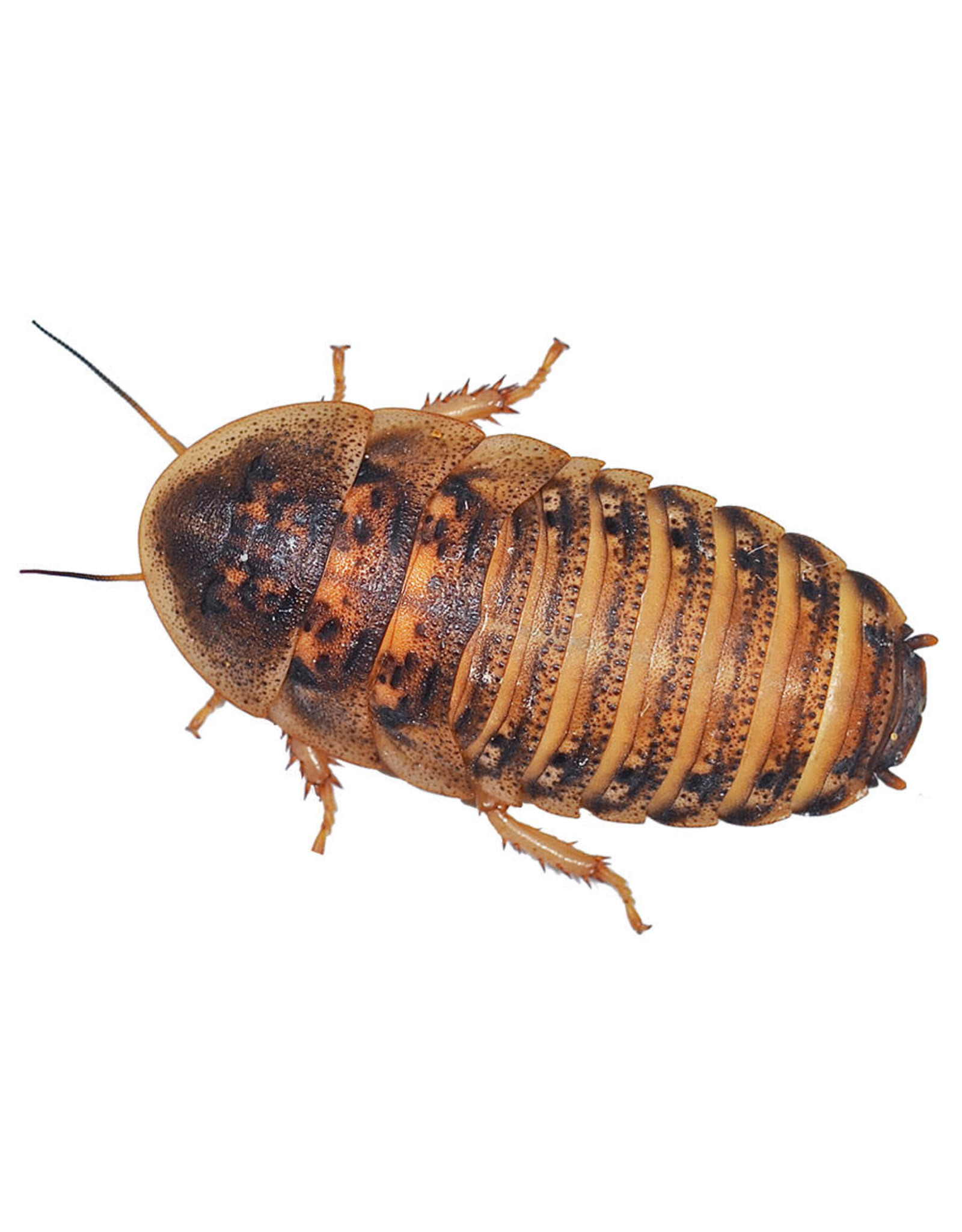 Angell Pets Dubia Cockroach