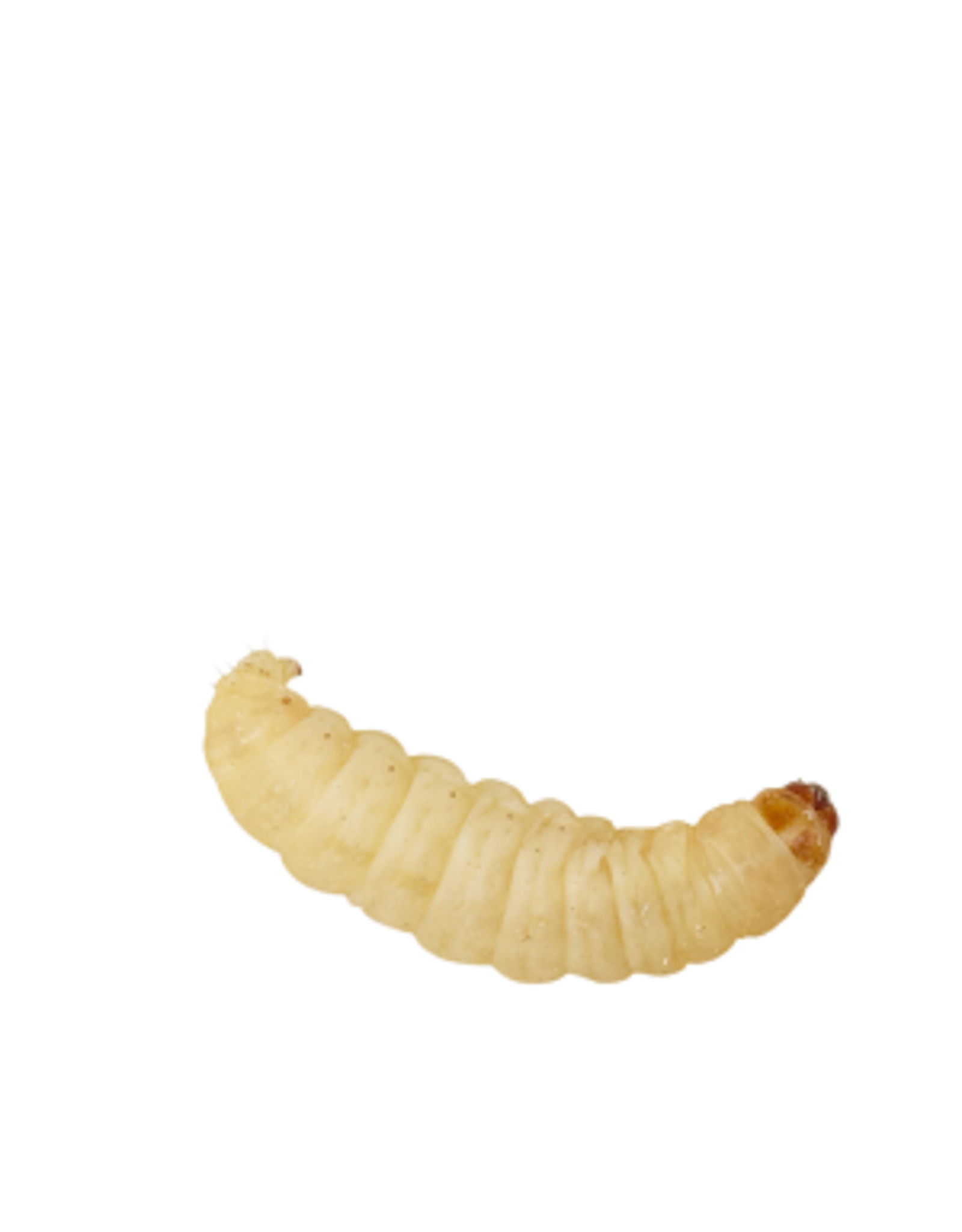 Angell Pets Waxworm Pre Pack