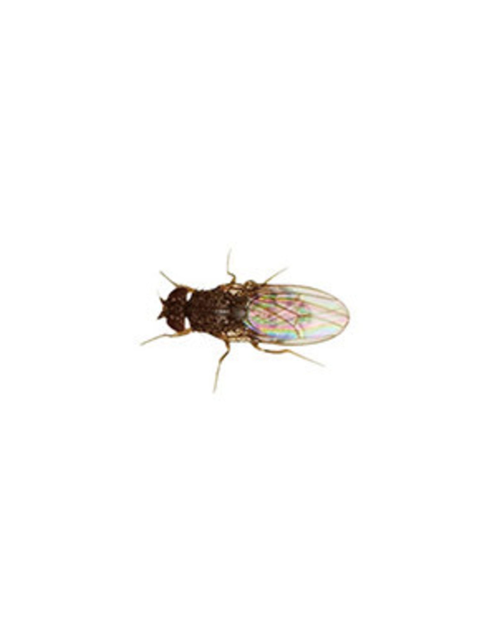 Angell Pets Fruit Fly Culture